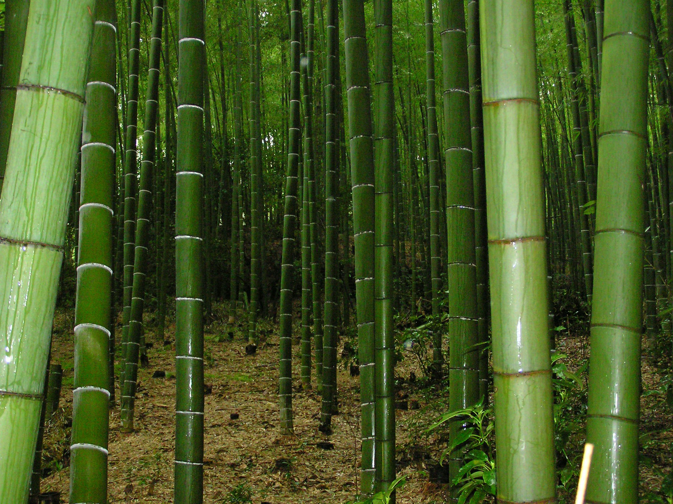 25 x moso bamboo seeds phyllostachys pubescens ebay for Moso bamboo prezzi